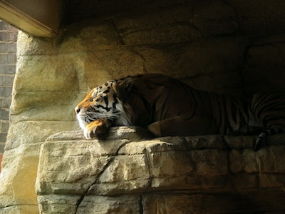 Even a Tiger Has a Shadow
